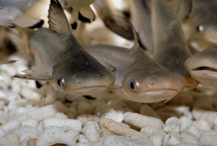 Potensi Kembang Biak Ikan Patin Mulai Dimaksimalkan Pemerintah