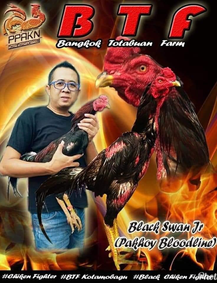 Beternak Ayam Bangkok