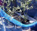 Bobi Simbala Pilih Tekuni Budidaya Pohon Bidara