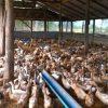 Potensi Peternakan Itik di Kotamobagu Dipacu