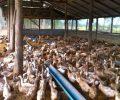 Potensi Peternakan di Kotamobagu Dipacu
